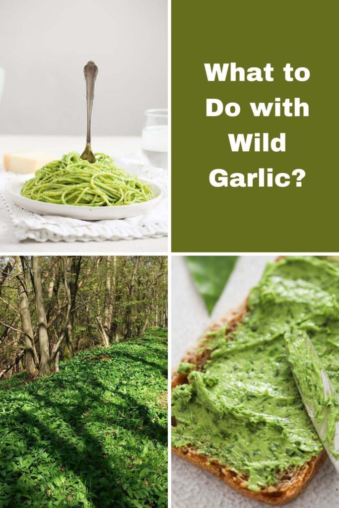collage of four pictures of wild garlic woods and its uses.