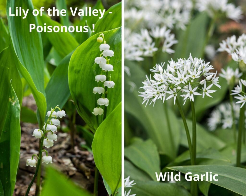 collage of two pictures of lily of the valley and wild garlic.