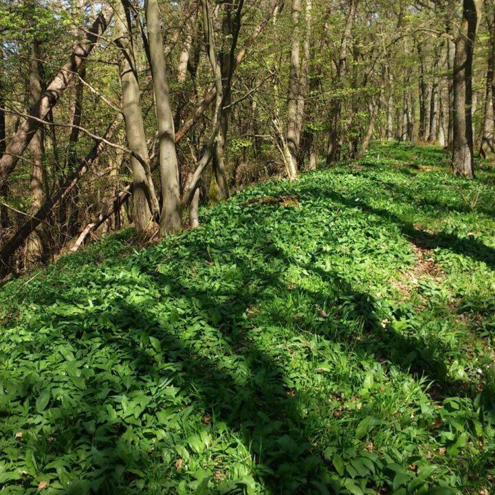 woods full of wild garlic.