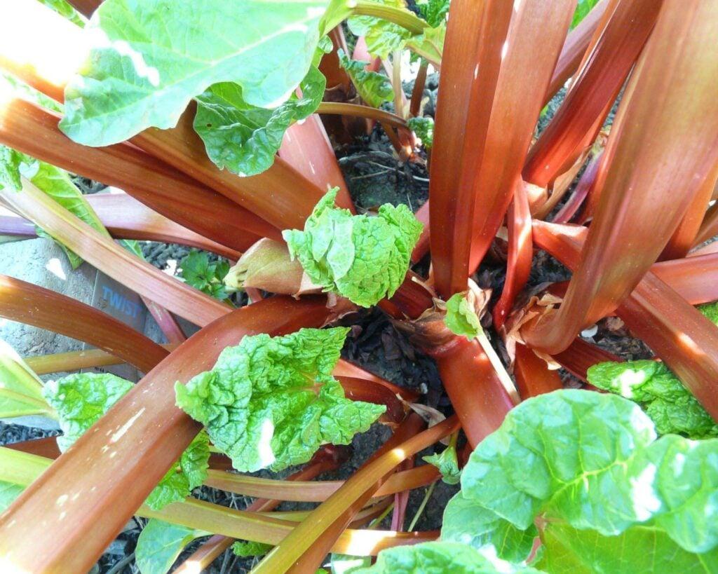 rhubarb stalks in garden.